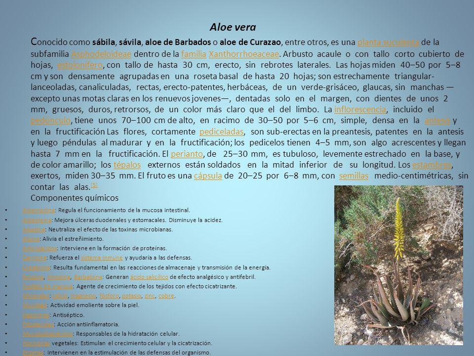 Aloe vera Conocido como sábila, sávila, aloe de Barbados o aloe de Curazao, entre otros, es una planta suculenta de la subfamilia Asphodeloideae dentro de la familia Xanthorrhoeaceae. Arbusto acaule o con tallo corto cubierto de hojas, estolonífero, con tallo de hasta 30 cm, erecto, sin rebrotes laterales. Las hojas miden 40–50 por 5–8 cm y son densamente agrupadas en una roseta basal de hasta 20 hojas; son estrechamente triangular-lanceoladas, canaliculadas, rectas, erecto-patentes, herbáceas, de un verde-grisáceo, glaucas, sin manchas —excepto unas motas claras en los renuevos jovenes—, dentadas solo en el margen, con dientes de unos 2 mm, gruesos, duros, retrorsos, de un color más claro que el del limbo. La inflorescencia, incluido el pedúnculo, tiene unos 70–100 cm de alto, en racimo de 30–50 por 5–6 cm, simple, densa en la antesis y en la fructificación Las flores, cortamente pediceladas, son sub-erectas en la preantesis, patentes en la antesis y luego péndulas al madurar y en la fructificación; los pedicelos tienen 4–5 mm, son algo acrescentes y llegan hasta 7 mm en la fructificación. El perianto, de 25–30 mm, es tubuloso, levemente estrechado en la base, y de color amarillo; los tépalos externos están soldados en la mitad inferior de su longitud. Los estambres, exertos, miden 30–35 mm. El fruto es una cápsula de 20–25 por 6–8 mm, con semillas medio-centimétricas, sin contar las alas.[5] Componentes químicos